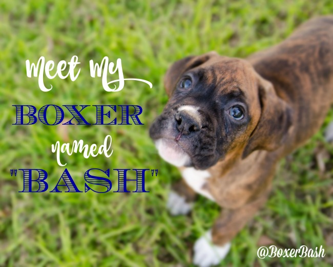 Boxer named Bash